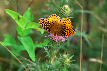 Great spangled fritillary {Speyeria cybele} on bull thistle, Wyoming State Forest, PA, USA