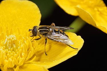 Sunfly / hoverfly {Helophilus pendulus} pollinates Kingcup flower, UK.