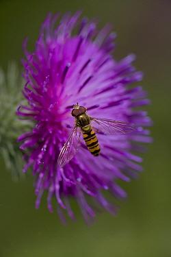 Hover fly (Episyrphus balteatus) feeding on nectar from thistle blossom, UK