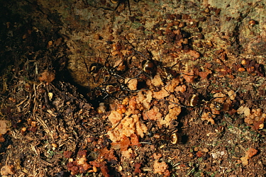 Golden Spiny ant (Polyrhachis sp.) collecting fig seeds from animal droppings and taking them to their nest in a canopy tree, in doing so they distribute fig seeds to favorable locations for growth. G...