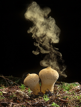 Common Puffball fungus (Lycoperdon perlatum) emitting spores into the air