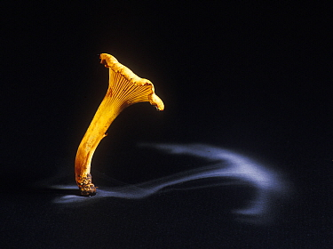 Edible chanterelle fungus (Cantharellus cibarius) showing spore dispersal pattern over 24 hours on black card