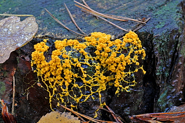 Dog vomit slime mould (Fuligo septica) plasmodial stage of the myxomycete on a  tree stump, UK, December.