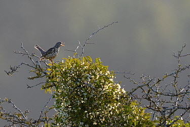 Mistle thrush (Turdus viscivorus) perched next to Mistletoe (Viscum album) in winter, Vosges, France, January