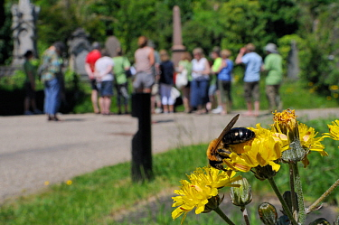 Solitary Mining bee (Andrena sp.) feeding on Beaked Hawksbeard (Crepis versicaria) flowers as an expert ornothologist, volunteers and members of the public count bird species in the background during...