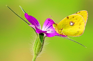 Clouded yellow butterfly (Colias crocea) On Corncockle flower (Agrostemma githago), Captive, UK, July