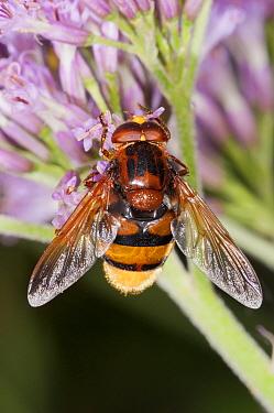 Hoverfly (Milesia crabroniformis) on flower,  Gran Sasso, Italy