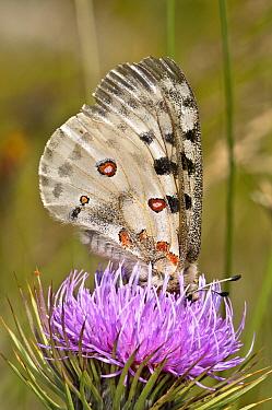 Apollo butterfly (Parnasius apollo) feeding, Mount Terminillo, Rieti, Lazio, Italy