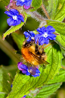 Common Carder Bee (Bombus pascuorum) feeding on Green Alkanet (Pentaglottis sempervirens) Lewisham, London, April