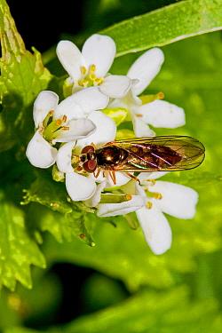 Hoverfly (Melanostoma scalare) Lewisham, London, May