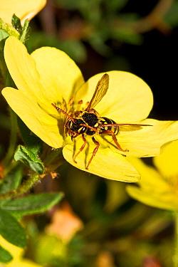 Gooden's Nomad Bee (Nomada goodeniana) feeding on Cinquefoil (Potentilla) Lewisham, London,