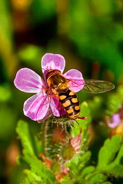 Hoverfly (Eupeodes luniger) feeding on Herb-robert (Geranium robertianum) Lewisham, London,
