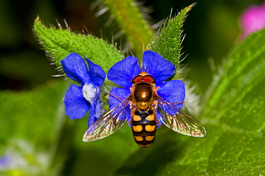 Hoverfly (Eupeodes luniger) feeding on Green Alkanet (Pentaglottis sempervirens) Lewisham, London, May