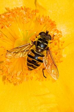 Hoverfly (Myathropa florae) feeding on Rose of Sharon, Lewisham, London, August