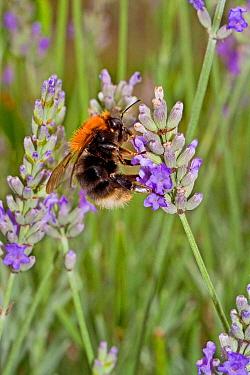 Tree Bumblebee (Bombus hypnorum) feeding on lavender Lewisham, London, August