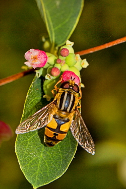 Hoverfly (Helophilus trivittatus) feeding on Snowberry Lewisham, London, September