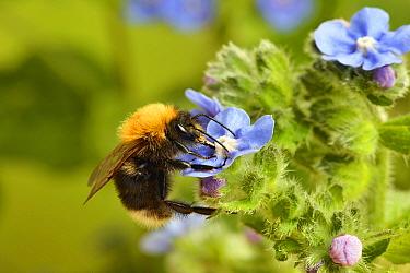 Tree bumblebee (Bombus hypnorum) feeding from a flower, Hertfordshire, England, UK, June.