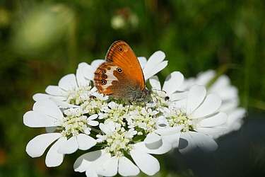 Pearly Heath Butterfly (Coenonympha arcania) feeding on nectar, on white flower, with Carpet beetles (Anthrenus verbasci) feeding on pollen, Croatia