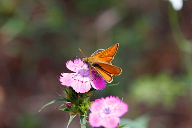 Small Skipper Butterfly (Thymelicus sylvestris) feeding on nectar of Pink flower, Croatia