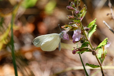 Wood White butterfly (Leptidea sinapis) butterfly feeding. Croatia, June
