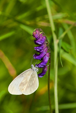 Wood white butterfly (Leptidea sinapis) female feeding on flower, South Karelia, southern Finland, June.