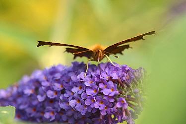 Head on view of a Comma butterfly (Polygonia c-album) feeding on Buddleia / Butterfly bush flowers (Buddleja davidii), Wiltshire garden, UK, September.