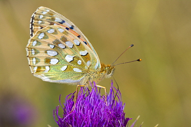 Dark Green Fritillary (Argynnis aglaja) feeding on Globe thistle (Carduus nutans) Wells, North Norfolk, England,
