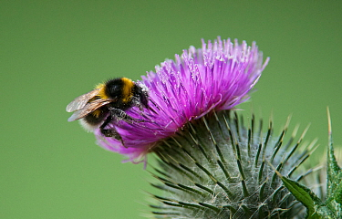 Early bumblebee (Bombus pratorum) collecting pollen from a thistle flower. Washington, Tyne and Wear, UK.