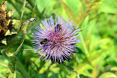 Leaf cutter Bee (Megachile centuncularis) in flight, Buff-tailed bumblebee (Bombus terrestris), Red-tailed bumblebee (Bombus lapidarius) and Hoverfly (Syrphidae) on Artichoke flower, Wales, UK, August...