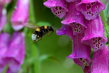 Bumble-bee (Bombus sp) worker foraging at flower, with pollen visible on pollen basket, Vosges, France, June.