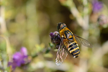 Bee fly (Villa sp.) foraging on Headed thyme / Wild thyme flowers (Thymus capitatus), Crete, Greece, May.
