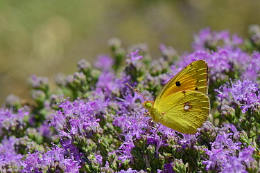 Clouded yellow butterfly (Colias croceus) feeding on Headed thyme / Wild thyme flowers (Thymus capitatus), Crete, Greece, May.