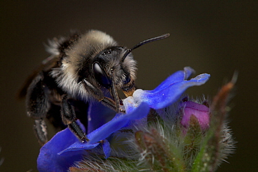 Ashy mining bee (Andrena cineraria) on Alkanet flower, Bristol, England, UK, May.