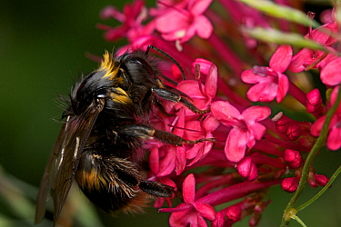 Bumblebee (Bombus) worker, wet after rain on Valerian flower, Bristol, England, UK, June.