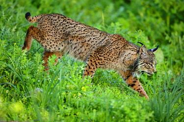 Wild Iberian Lynx (Lynx pardinus) male, Sierra de Andujar Natural Park, Jaen, Andalucia, Spain