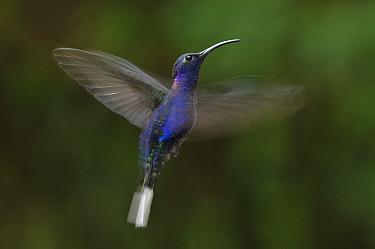 Violet sabrewing (Campylopterus hemileucurus) in flight at feeding station, Monte Verde Cloud Forest, Costa Rica.