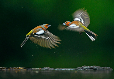 Common chaffinchs (Fringilla coelebs) fighting, Puszaszer, Hungary, May.