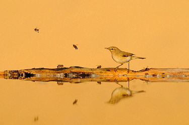 Common chiffchaff (Phylloscopus collybita) in front of sand dune with bees, reflected in water, Pusztaszer, hungary, May.
