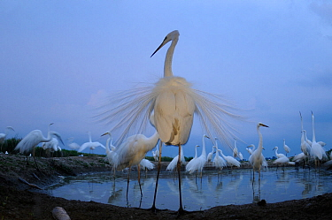 Great egret (Ardea alba) around pool, displaying with ornamental feathers fanned out, Hungary, May.