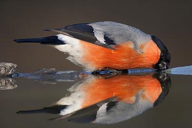 Eurasian bullfinch (Pyrrhula pyrrhula) drinking, reflected in water, Pusztaszer, Hungary, February.