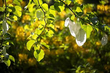 Handerkerchief tree (Davidia involucrata var. vilmoriniana) white flower bracts, Wiltshire, UK, May.