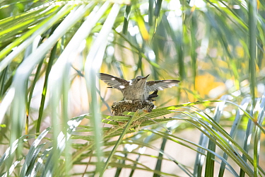 Anna's hummingbird (Calypte anna) young on nest testing its wings, Southern California, USA