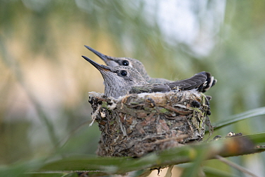 Anna's hummingbird (Calypte anna) chicks waiting to be fed by mother, Southern California, USA