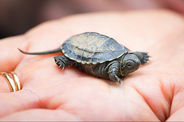 Juvenile Chinese pond turtle (Mauremys reevesii) on hand, a few days old. Rescued from a road, hand-reared now, Japan.