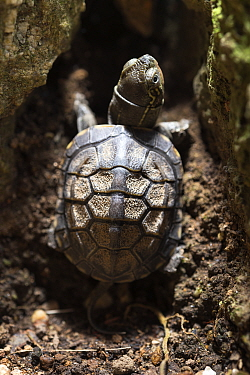 One-month old Chinese pond turtle (Mauremys reevesii), 2.8cm long, preparing to climb up a crack between two rocks. Rescued from road, hand-reared now. Japan. Controlled conditions.
