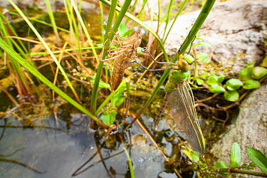 Emperor dragonfly (Anax imperator) newly emerged adult hangs next to exuvia above garden pond, Bristol, UK, May