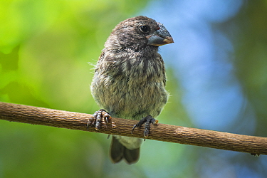 Medium ground finch (Geospiza fortis), recovering from introduced avian pox infection. Puerto Ayora, Santa Cruz Island, Galapagos, Ecuador