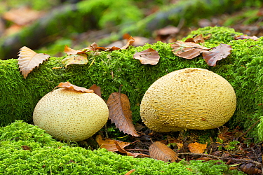 Common earthball fungus (Scleroderma citrinum), Tollymore Forest Park, Newcastle, Co. Down, Northern Ireland