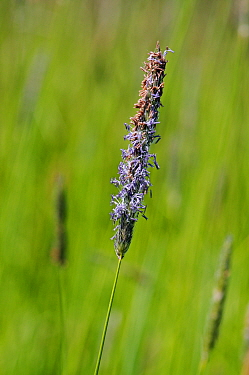 Meadow foxtail (Alopecurus pratensis) in flower, Horton Country Park, Epsom, Surrey, England, May.