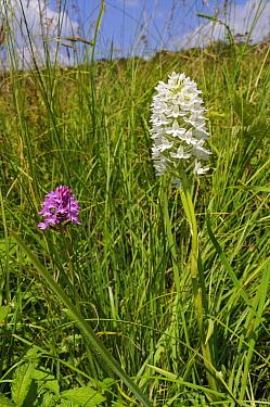 Pyramidal orchid (Anacamptis pyramidalis), rare white variety, Albury Downs, Surrey, England, June.